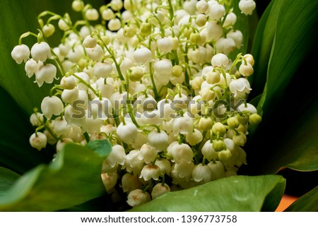 Macro photo nature spring lilies of the valley. Background bouquet of blooming white flowers lilies of the valley