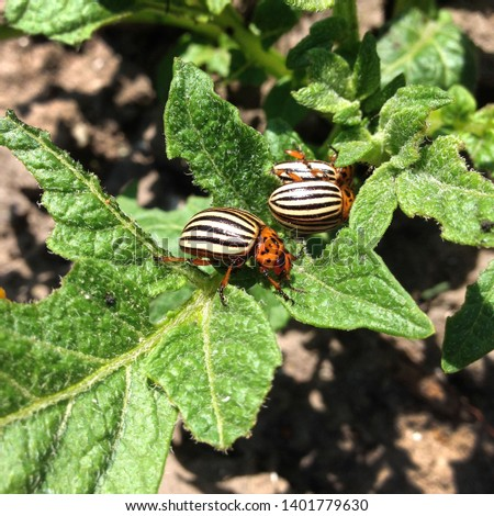 Macro Photo  Nature The Colorado Beetle. Texture Colorado striped beetles are sitting on the leaves of potatoes.