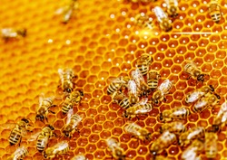 Macro photo of a bee hive on a honeycomb with copyspace. Bees produce fresh, healthy, honey