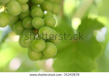 Macro photo of a bunch of green grapes on the vine with a vine leaf in the background