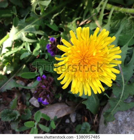 Macro Photo of a dandelion plant. Dandelion plant with a fluffy yellow bud. Yellow dandelion flower growing in the ground. Dandelion with plant Lamium purpureum