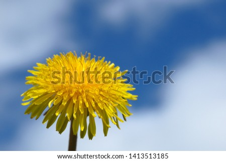 Macro Photo of a dandelion plant. Dandelion plant with a fluffy yellow bud. Yellow dandelion flower growing in the ground. Dandelion with sky on background