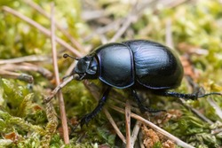 Macro photo of a dor beetle, Geotrupes stercorosus among moss