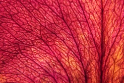 Macro photo of a dried rose petal with its veined lattice texture. Vegetal abstract background