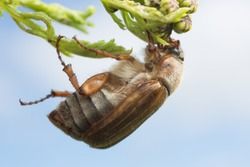 Macro photo of a european june beetle, Amphimallon solstitiale on plant, this insect can be a pest