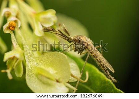 Macro Photo Of A Female Mosquito
