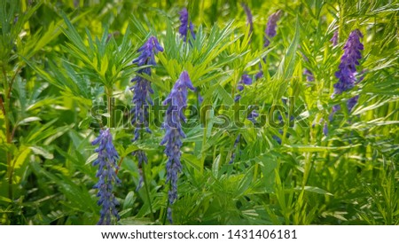 Macro photo of a flowering flower vicia cracca