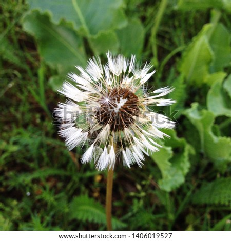 Macro Photo of a fluffy dandelion plant. Dandelion plant with a fluffy white bud. White dandelion flower growing in the ground.