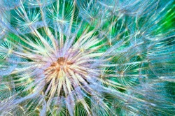 Macro photo of a fluffy dandelion. Seeds close up. Natural plant texture, colorfull background