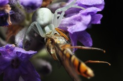 Macro photo of a Goldenrod crab spider (misumena vatia) preying on a hoverfly (syrphid fly) while hiding in a purple flower.