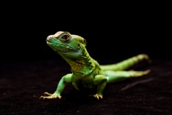 Macro photo of a green gecko in a black background full of detail