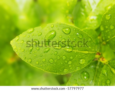macro photo of a green lemon leaves with water drops
