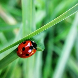 Macro photo of a ladybird in the grass