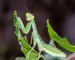 Macro photo of a mantis. Mantis on a green leaf. Cute mantis.