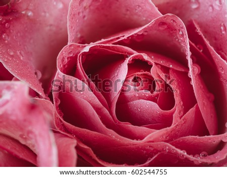 Macro photo of a pink rose with water droplets. Symbol of love