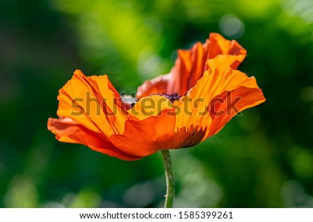 Macro photo of a single poppy flower. Background texture of red poppies flower. Selective focus, close up.