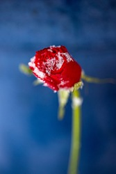 Macro Photo of a single rose in the snow