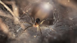 macro photo of a small spider protecting its hole. slim and gracious arachnid but dreadful predator for insects trapped on its spider web, ruthless trap, somewhere in the tropical jungle of Thailand