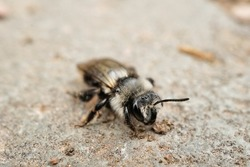 Macro photo of a wild bee