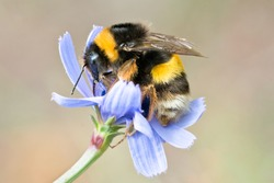 Macro photo of a yellow and black striped Bumblebee, pollinating and collecting nectar on a blue wild flower