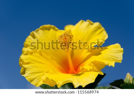 macro photo of a yellow hibiscus with blue sky