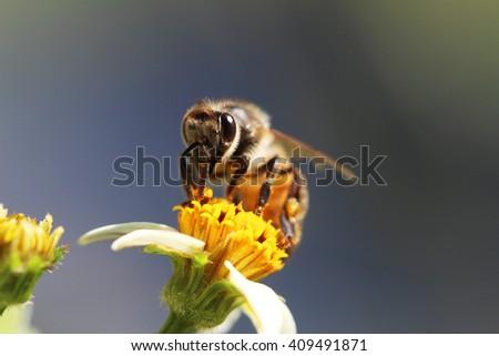 Macro Photo of Bee at Bidens pilosa flower