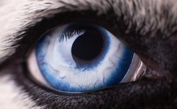 Macro photo of blue eye Husky dog.  Сlose up blue eye