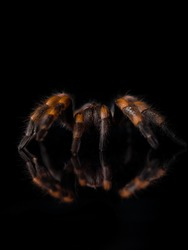 macro photo of brachypelma hamorii