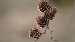 Macro photo of brown fir cones on a branch, selective focus, copy space.Beautiful banner with fir cones.Seasonal plants