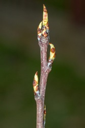Macro photo of buds of Clapp's Favourite pear tree. Clapps is a variety of pear.