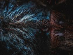 macro photo of Caribena versicolor carapace