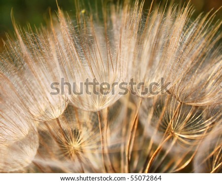 Macro photo of dandelion with green background