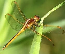 Macro photo of Dragonfly with bokeh. Anisoptera.