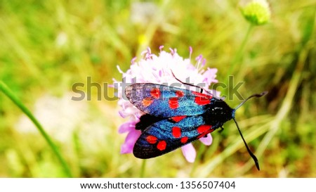 Macro photo of eight-spotted forester on a purple flower.  An eight-spotted forester moth with black background and red spot. Natural and wild life.