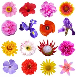 Macro photo of flowers set:  poppy, arnica montana, daffodil, blue periwinkle,  pansy, cactus, lily on a white isolated background