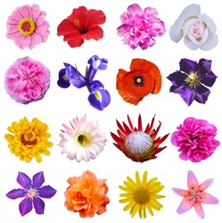 Macro photo of flowers set:  poppy, arnica montana, daffodil, blue periwinkle,  pansy, cactus, lily, rose, clematis on a white isolated background