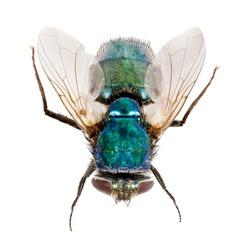 Macro photo of fly isolated on white