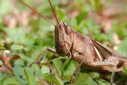 macro photo of grasshopper, close up photo of brown grasshopper macro, suitable for animal lovers, insect world, animal world, natural nature