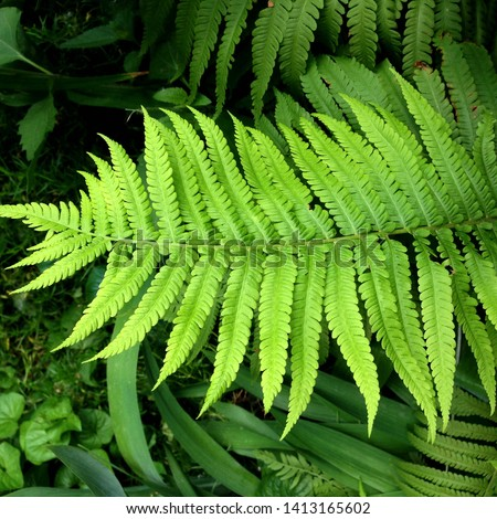 macro Photo of green fern petals. The plant fern blossomed. Fern on the background of green plants. #1413165602