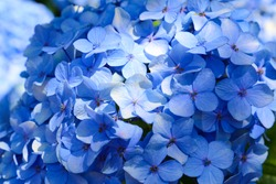 Macro photo of hydrangea flower. Details of blue petals. Beautiful colorful blue texture of flowers for designers. Hydrangea macrophylla.