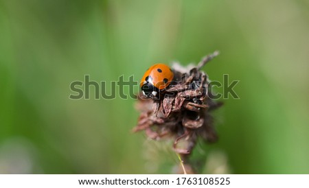 Macro photo of Ladybug in the green grass. Macro bugs and insects world. Nature in summer concept.