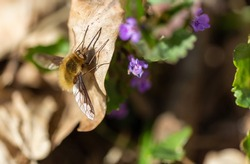 Macro photo of large bee-fly, Bombylius major sitting on leaf
