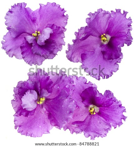 macro photo of lilac violet  flower isolated