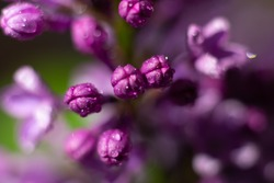 Macro photo of little burgeons of lilac flower ready to bloom. First spring flowers