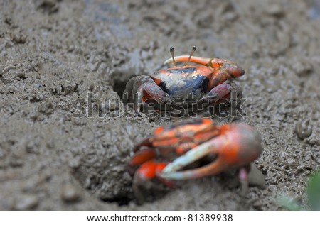 Macro photo of mud crab. Mai Po Marshland. Hong Kong.