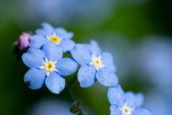 Macro photo of  Myosotis sylvatica forget-me-not. Tiny wet blue flowers on blurred background with bokeh effect