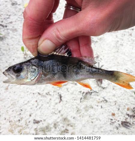 Macro photo of nature fish European perch. Texture background fish perch in hand. Predatory river striped fish perch with a sharp comb