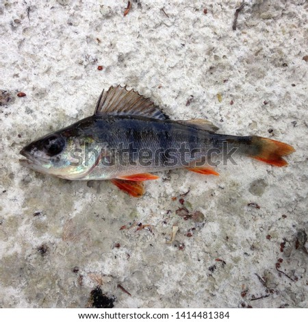 Macro photo of nature fish european perch. Texture background fish perch lies on the sand. Predatory river striped fish perch with a sharp comb