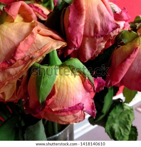 Macro photo of nature flower withered roses. Background texture withered rose crimson and pink. Image plant bouquet withered rose