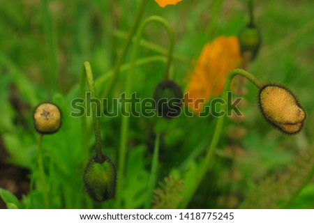Macro photo of nature yellow bud flower poppy. Background blooming poppy flowers with a closed bud. Poppy grows in the ground.